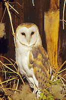 Barn Owl perched by the side of barn (Tyto alba)