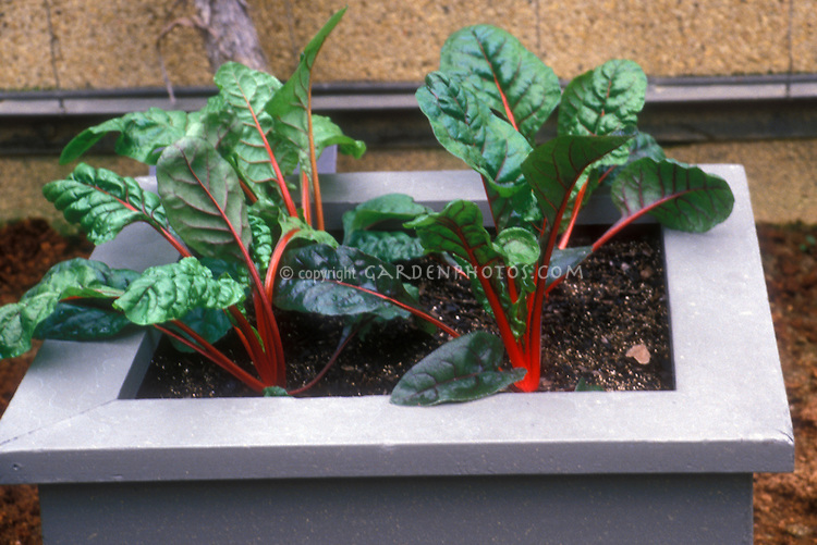 Vegetable raised bed pot with chard