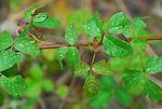 poison oak in rain, Bonny Doon Ecological Reserve
