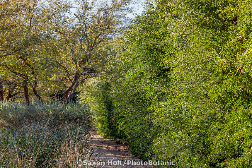 Pithecellobium flexicaule aka Ebenopsis ebano, Texas Ebony tree pruned as privacy shrub; Sunnylands