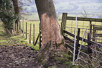 Bark bitten of a tree trunk by horses, Chipping, Lancashire.