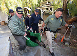 Officials carry an approximately 400-pound adult male bear out of a Carson City backyard  Wednesday, Oct. 23, 2013. Nevada Wildlife game wardens and biologists tranquilize the bears, tag them and collect blood and hair samples before releasing using &quot;aversive conditioning.&quot;<br /> (Cathleen Allison/Las Vegas Review-Journal)