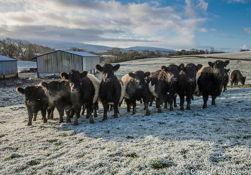 Belted Galloway beef cattle in frost, Brough, Kirkby Stephen, Cumbria.