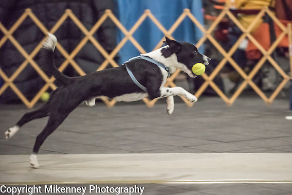 2016 2 fast Fur U Santa Paws Flyball Tournament held at Finger Lakes Pet Resort in Farmington NY