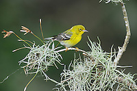 Pine Warbler (Dendroica pinus), male perched in oak tree, Dinero, Lake Corpus Christi, South Texas, USA