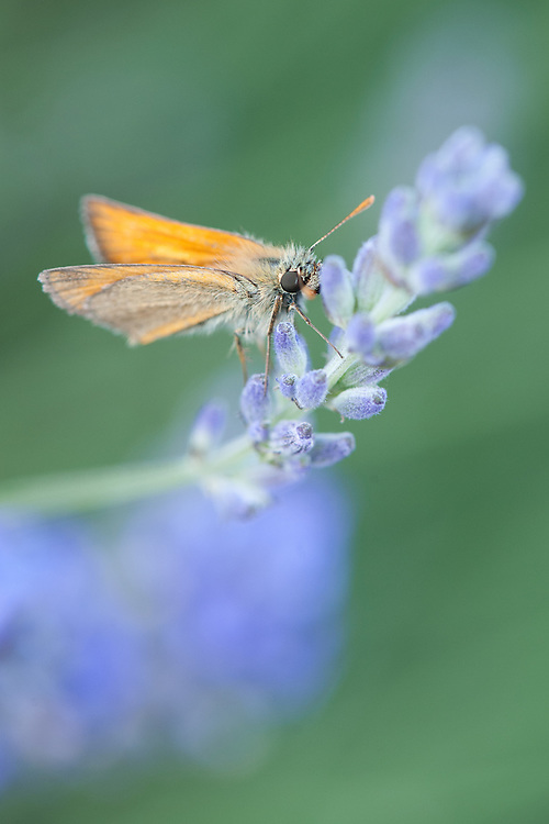 Small skipper butterfly (Thymelicus sylvestris) on lavender, early July.
