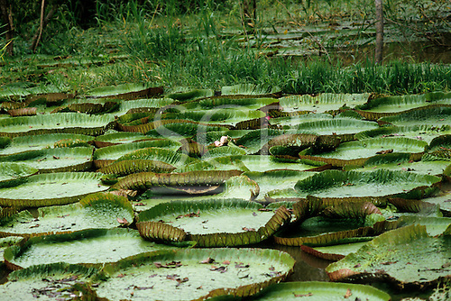 Amazon, Brazil. Vitoria Regia (Victoria regia, Victoria amazonica) water lilies; giant lily pads floating on the river.