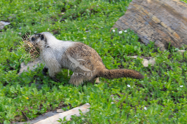 Hoary Marmot (Marmota caligata) carrying grass to line its den, Glacier National Park, Montana.  Summer.