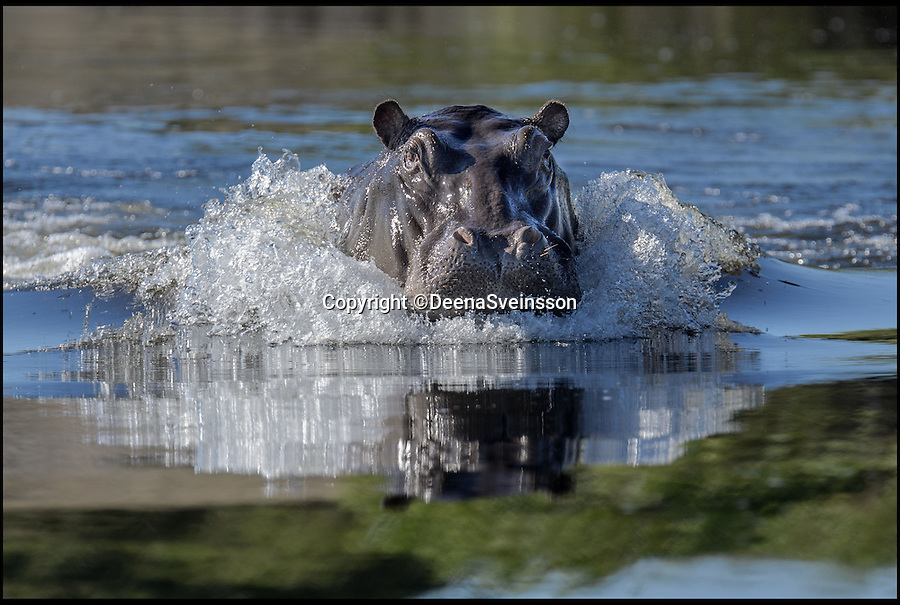 BNPS.co.uk (01202 558833)<br /> Pic: DeenaSveinsson/BNPS<br /> <br /> ***Please Use ull Byline***<br /> <br /> <br /> Hippos are not usually known for their subtlety but this hulking beast appears to be using stealth techniques while he sets his sights on his prey.<br /> <br /> The large mammal submerged itself before seemingly gliding gracefully head first out of the water.<br /> <br /> For a moment, its large head appeared camouflaged in the brown water and even looked more like a stalking crocodile than a cumbersome hippo.<br /> <br /> In the event, its 'prey' was a nearby boat full of sight-seers which quickly made off when the skipper finally spotted the creature from the deep.