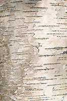 Bark detail of birch tree.