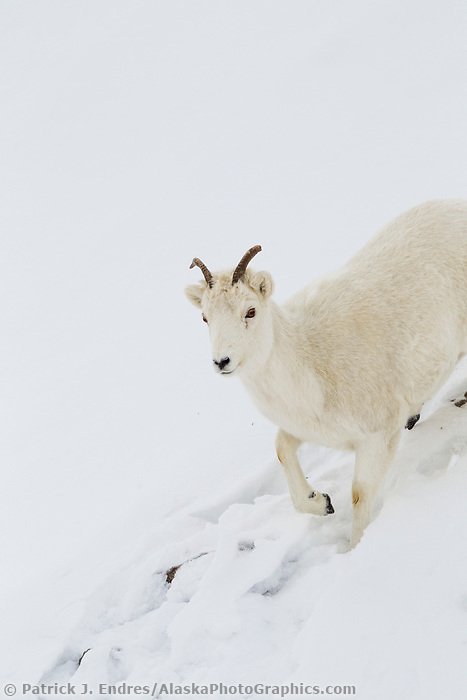 A dall sheep ewe trudges through a deep snow bank in the Brooks Range mountains of Alaska's Arctic.