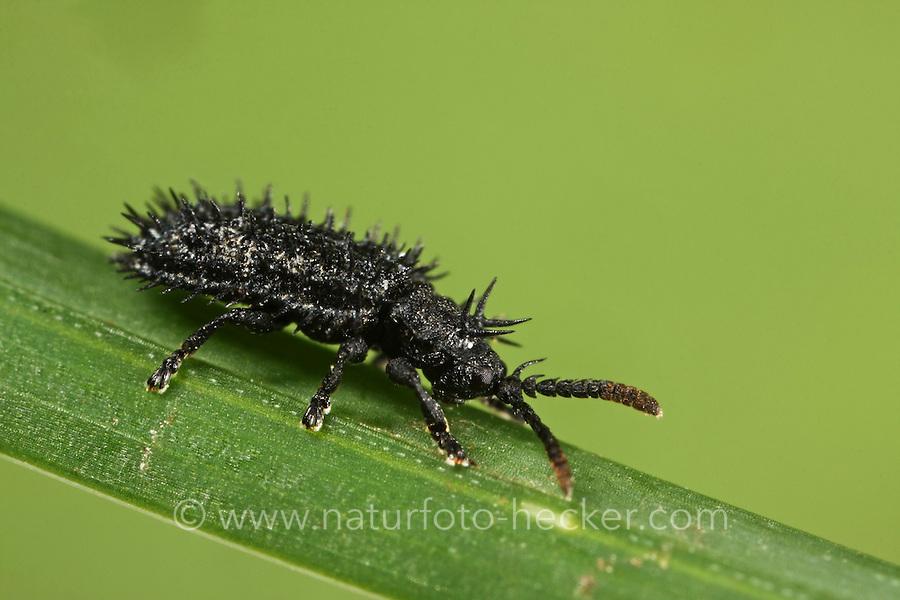Schwarzer Stachelkäfer, Hispa atra, Hispella atra, Prickly leaf beetle