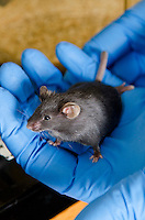 Mice are tested in a research study to find correlations of diet to diabetes by measuring blood glucose levels.