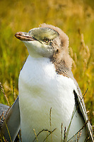 Juvenile Yellow Eyed Penguin in grass at Moeraki, Otago, New Zealand