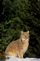 657146010 a captive canadian lynx felis lynx sits in a snow bank among fir trees in central montana - animal is captive - species is endangered in the wild