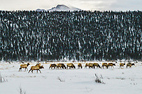 A young bull and his harem of cows forage for food in Moraine Park beneath Long's Peak, Rocky Mountain National Park, Colorado.