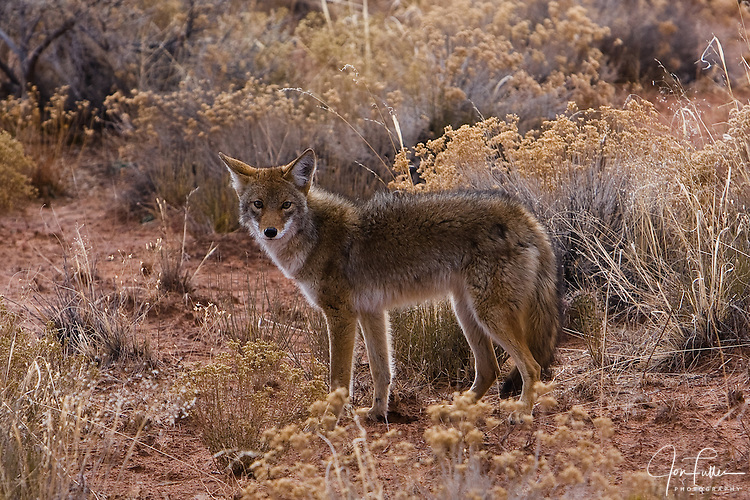 A coyote in Canyonlands National Park near Moab, Utah, USA.