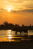 A herd of elephants at sunset in the Okavango Delta, Botswana Africa.