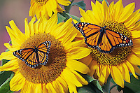 Monarch (r.) (Danaus plexippus) & Viceroy (Limenitis archippus) butterflies on sunflowers, summer, North America.  Viceroy is Mullerian mimic: looks like Monarch & both distasteful to predators.