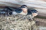 Barn Swallows on a farm fence