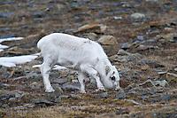 Svalbardrein ved Longyearbyen. ---- Svalbard reindeer by Longyearbyen.