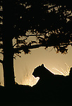 Cougar in silhouette at sunset