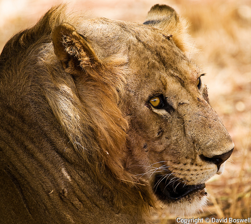 a young nomadic male lion resting shortly after killing an adult zebra in Tarangire National Park in northern Tanzania.
