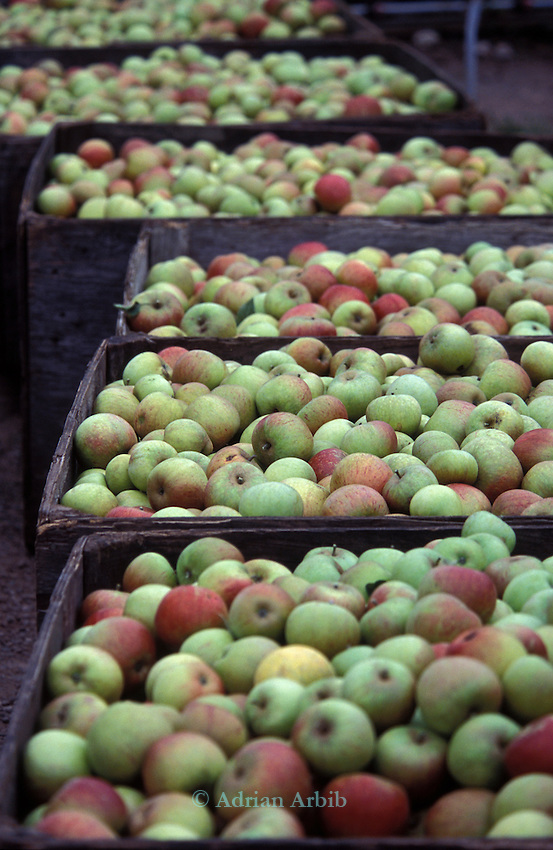 Apples having been picked are taken for packing at  June and Robin Small's company, Charlton Orchards, Taunton, Somerset. Their company was chewed up and spat out by the superstores, but they didn't give up. They found a way of surviving, by selling direct to local people. They've become evangelists for community orchards and local marketing.   They're growing about 25 varieties of English apple: one of the last diverse commercial orchards left in Britain.