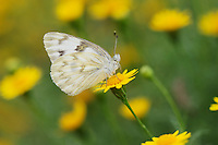 Checkered White (Pontia protodice), adult feeding on Dogweed (Dyssodia pentachaeta) flower, Laredo, Webb County, Texas, USA
