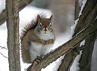 "1228-07uu  Red Squirrel ""Hunting for Food in Winter"" - Tamiasciurus hudsonicus - © David Kuhn/Dwight Kuhn Photography."