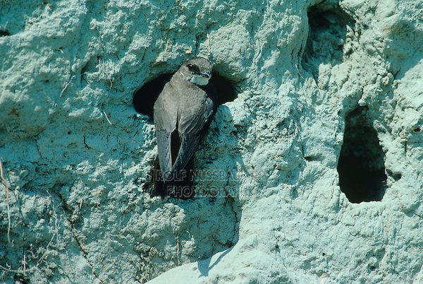 Sand Martin, Hirundo riparia, adult at nesting burrows in River bank, Scrivia River, Italy, June 1997