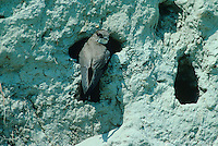 Sand Martin, Hirundo riparia, adult at nesting burrows in River bank, Scrivia River, Italy, June 1997