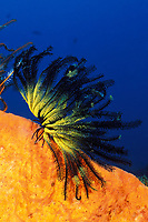 crinoid or feather star, Oxycomanthus bennetti (echinoderm), Kimbe Bay, New Britain, Papua New Guinea (Bismarck Sea / Western Pacific Ocean)