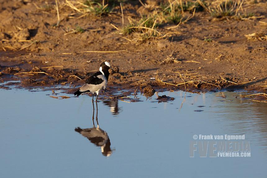 Blacksmith Lapwing (Vanellus Armatus)...Mashatu Game Reserve..Tuli block, Botswana..November 2010.
