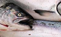 Rainbow Trout at Fisherman's Wharf.