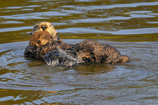Sea Otters (Enhydra lutris).  A three to four month old juvenile (right) investigates mom with young pup.