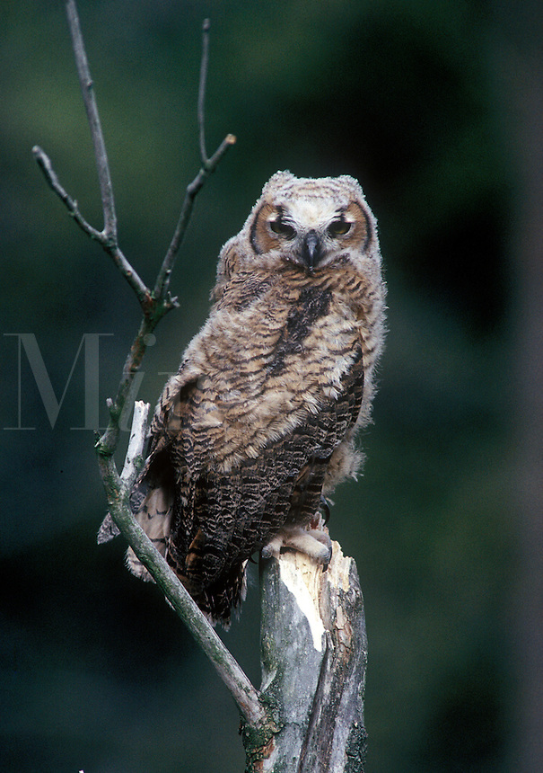 Great Horned Owl, Oakland County, Michigan