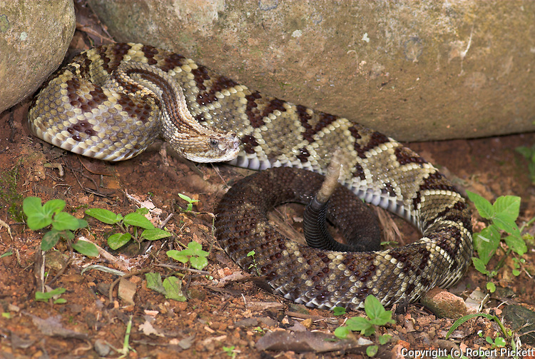 South American Rattle Snake, Crotalus durissus, venomous rattlesnake species found in South America, Costa Rica, poisonous, aggressive, defensive pose, tail rattling, noise, noisy