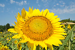 A close up lens makes a single sunflower appear very large.  It is in the foreground of a field of sunflowers.