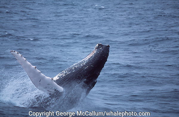 Humpback whale Megaptera novaeangliae Breaching. Bear Island, North east atlantic