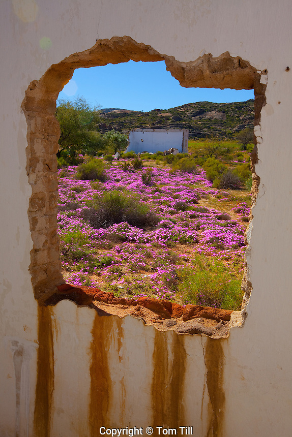 Namaqualand wildflowers,  Namaqualand, South Africa  a  One of the world's largest wildflower blooms    Seen through ghost town window
