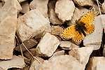 Fritillary (Boloria sp) butterfly, Pikertyk, Tien Shan Mountains, eastern Kyrgyzstan