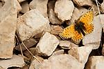 Fritillary (Boloria sp) butterfly, Pikertyk, Tien Shan Mountains, eastern Kyrgyzstan