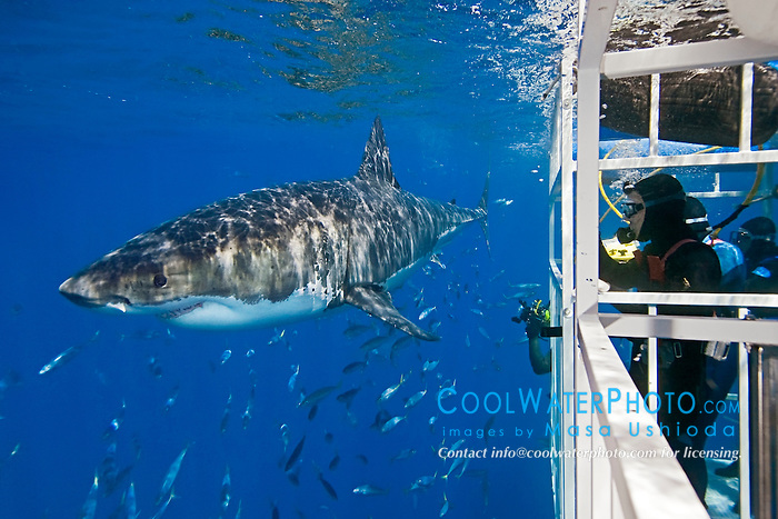 divers in shark cage observing great white shark, Carcharodon carcharias, off Guadalupe Island, Mexico, East Pacific Ocean