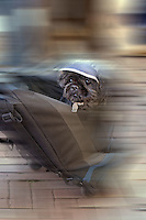 Dog in motion in an airline carry on bag, Alkmaar, Holland