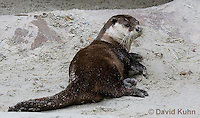 0508-1011  Cape Clawless Otter (African Clawless Otter or Groot Otter), Aonyx capensis capensis  © David Kuhn/Dwight Kuhn Photography.