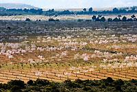 ESP, Spanien, Andalusien, bluehende Mandelbaeume, Mandelplantage | ESP, Spain, Andalusia, blooming almond trees