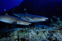 A pair of whitetip reef sharks,  Triaenodon obesus, Hawaii.