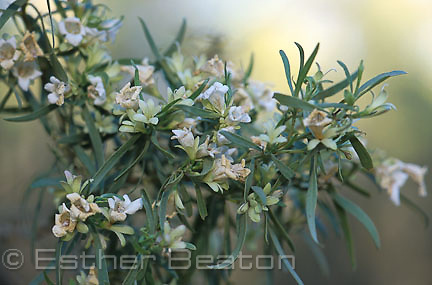 Flowers of Budda (Eremophila mitchellii) strongly scented bush producing essential oil. Pilliga State Forest, New South Wales