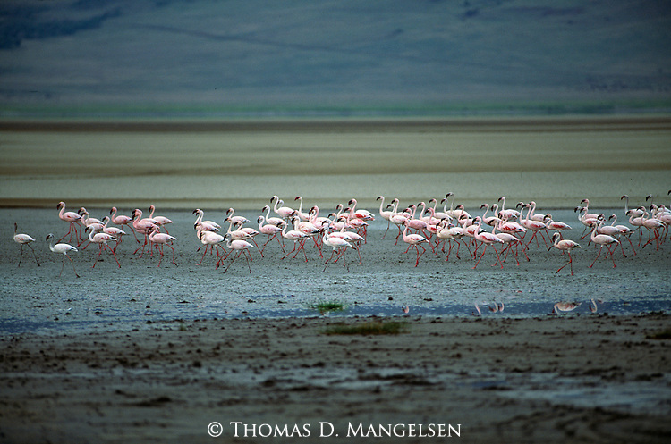 Flamingos walking in Ngorongoro Crater, Tanzania.